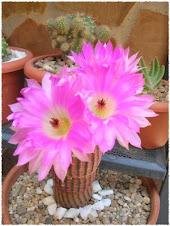 Cactus ! !