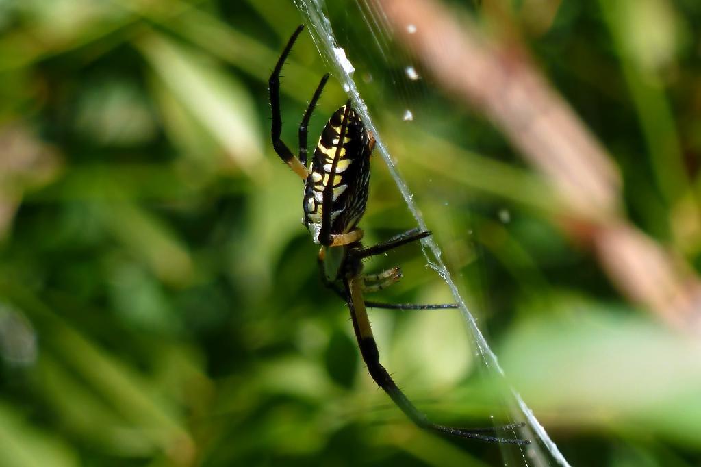 Common Garden Spider 2017 2018 Best Cars Reviews