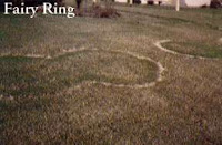 Fairy Ring disease very difficult to eliminate. DT landscaping San Diego County