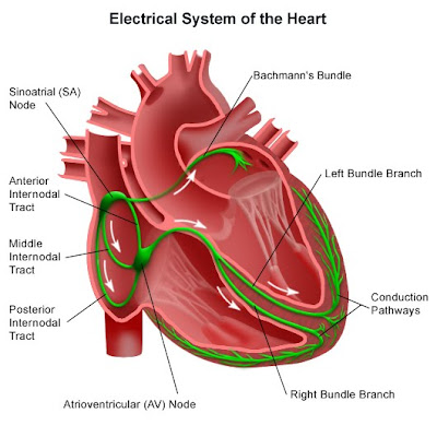 basic cardiology - part ii | paramedicine 101, Muscles