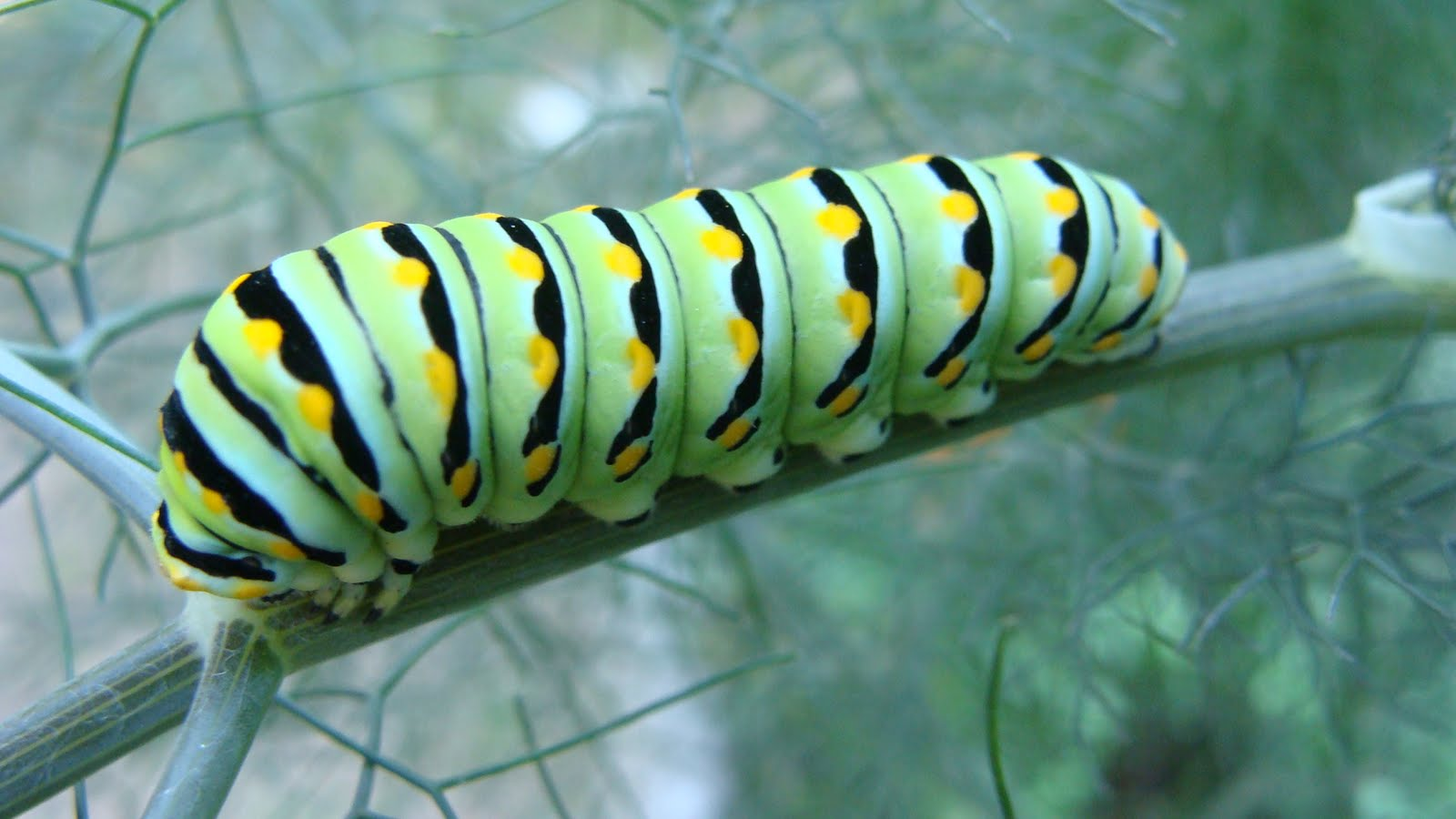 little forest house: black swallowtail caterpillar Black Swallowtail Caterpillar