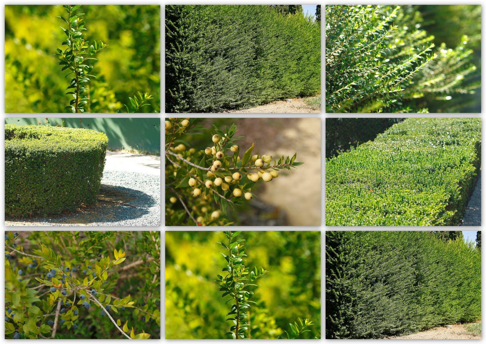 Mirto album de fotos de rboles y arbustos - Arboles y arbustos ...