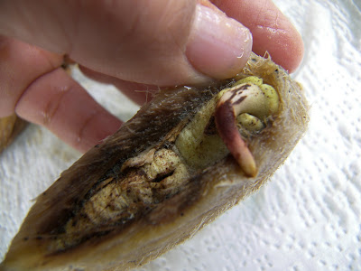 Mastering Horticulture: Germinating a Mango Seed