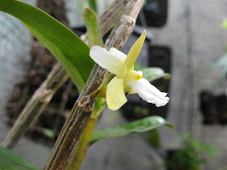 Den+derryi+side+view Dendrobium derryi Ridl 1907