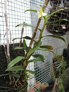 Den+derryi+plant Dendrobium derryi Ridl 1907