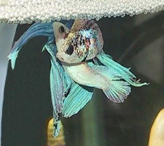 Otak Atik Otak's Blog: Cara Ternak ikan Cupang Hias