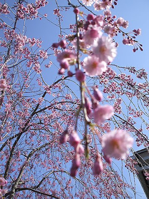 weeping cherry tree pictures. weeping cherry tree leaves.