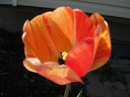 One of our tulips