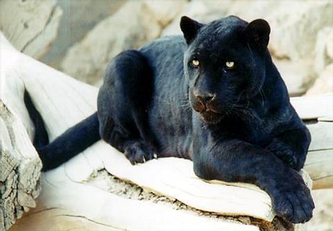 Blog da Ciência: Pantera-negra