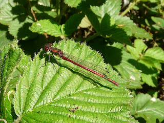 Large-Red Damselfly, Hale Woods