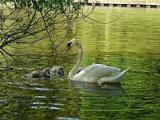 Mute Swans, Greenbank Park