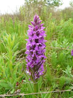 Marsh Orchid, Speke/Garston Coastal Reserve