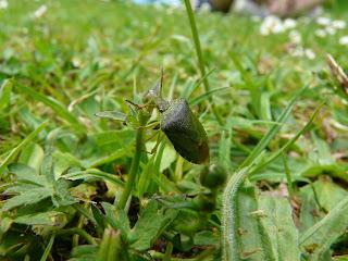 Shieldbug SP, Calderstones Park