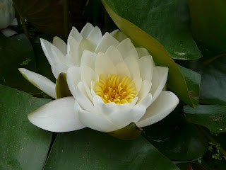 White Water-Lily, Calderstones Park