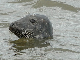 Atlantic Grey Seal, Hilbre Island