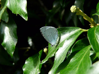 Holly Blue, Burton Marsh