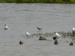 Lesser Yellowlegs, Inner Marsh Farm