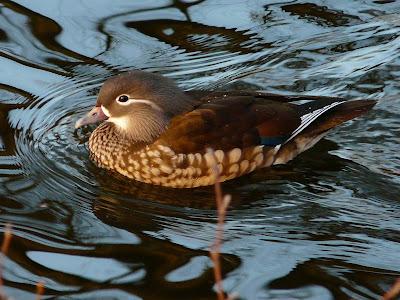 Mandarin Duck, Sefton Park
