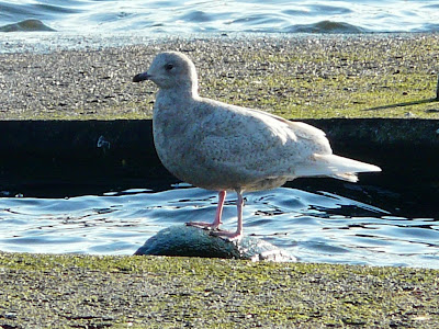 Iceland Gull, Preston Dock