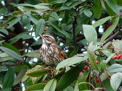 Redwing, Liverpool City Centre