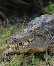 Crocodylus acutus Mata Lagoon