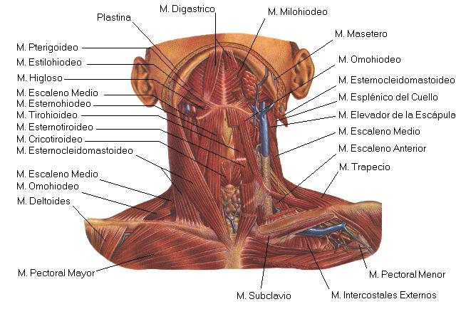 imagen musculos faciales: