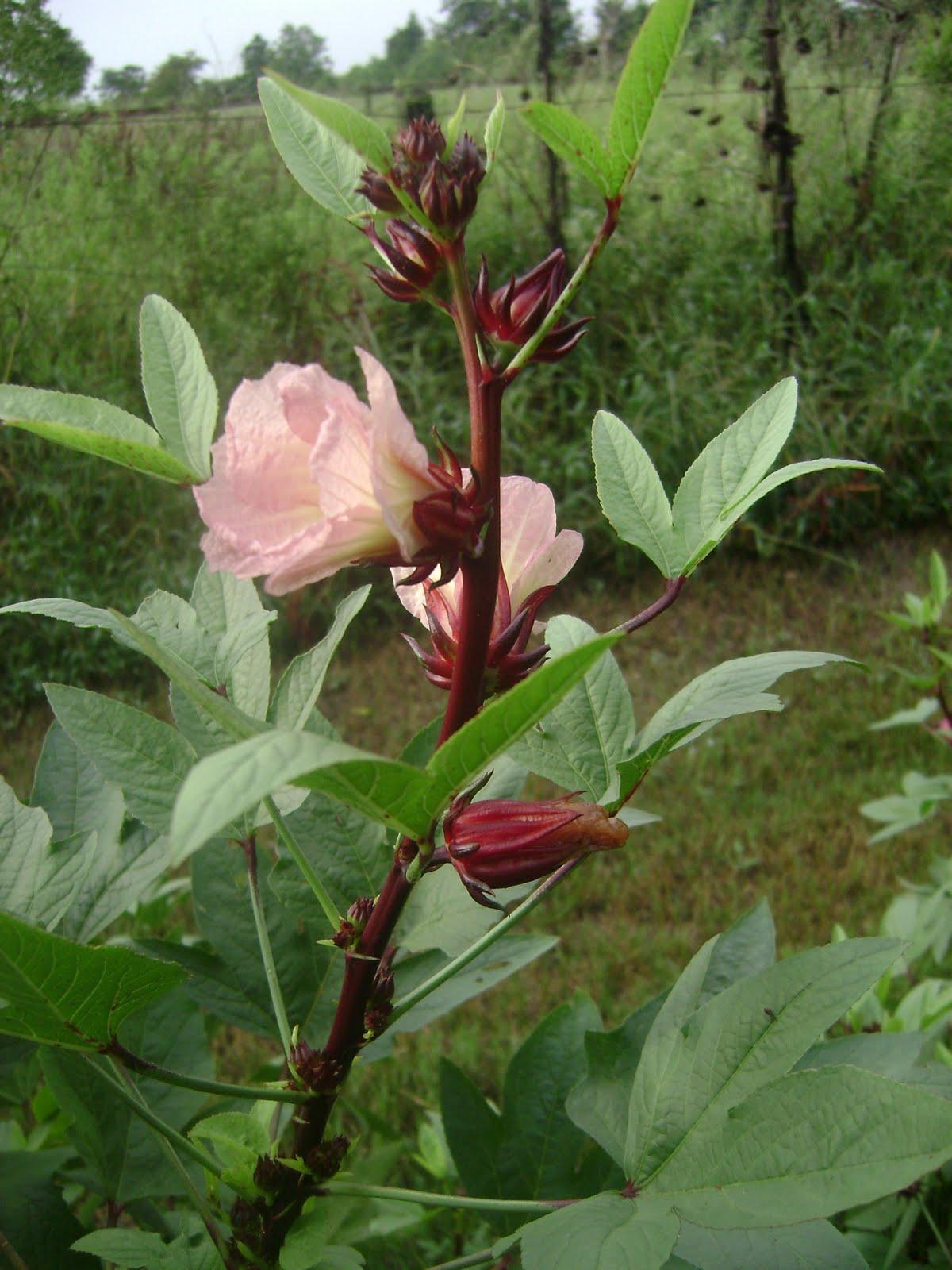 TSG: Roselle (Jamaica Sorrel)
