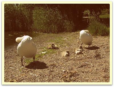 En bild på två svanar och deras ungar.
