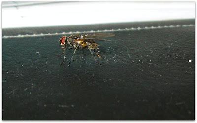 En fluga som flyger omkring och stör mig i mitt arbete.