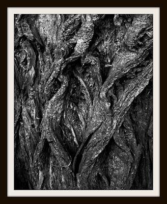 Barken på ett träd.