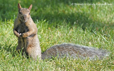 Grey squirrel, Toronto photographer Robert Rafton