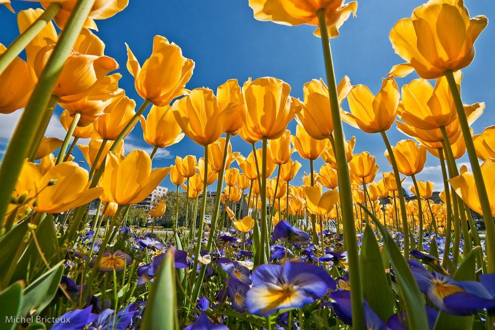 Tulipanes en el Paseo de la Castellana, Madrid