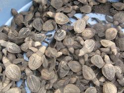 Nyklekkede skildpadder