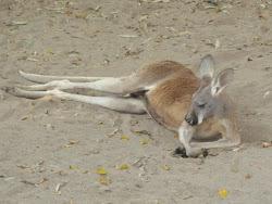Kenguru tar det med ro