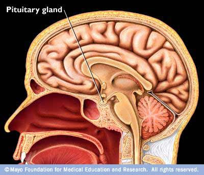 external image mayo+pituitary+gland.jpg