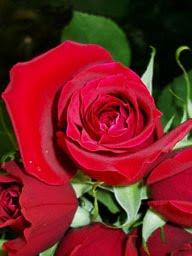 [rose1.jpg]