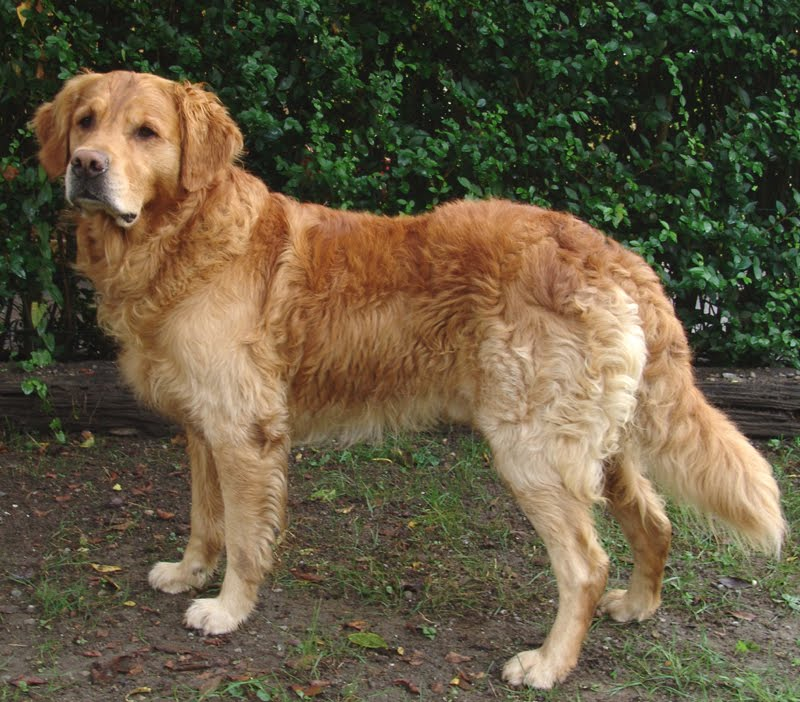 Remarkable, very golden pyrenees adult weight