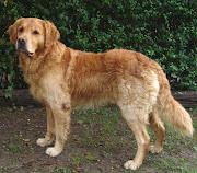 . breeds golden retriever. The Golden Retriever breed is a gun dog breed.