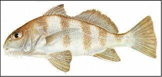 Third Coast Angler South Texas Fish Species
