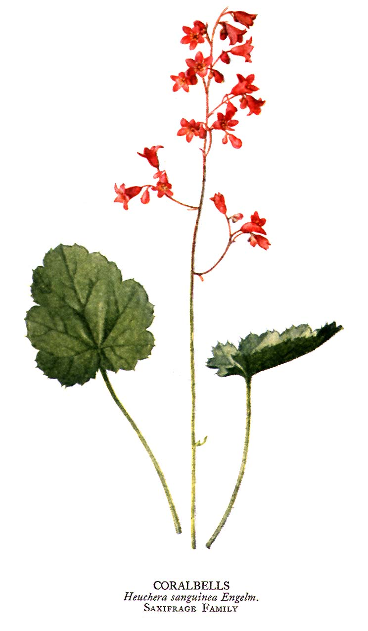 Nanciworld collectable plants heuchera with nicely shaped green leaves that bloomed in summer with tiny delicate lily of the valley shaped pink or coral flowers up and down long stems mightylinksfo