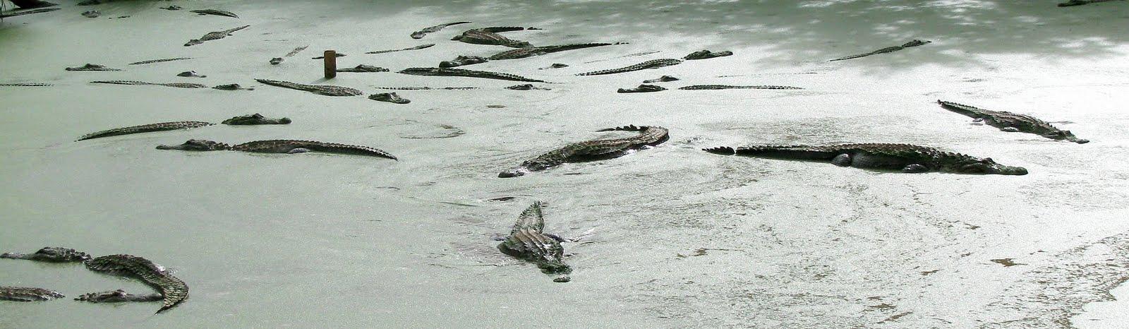 alligator soup - photo #33