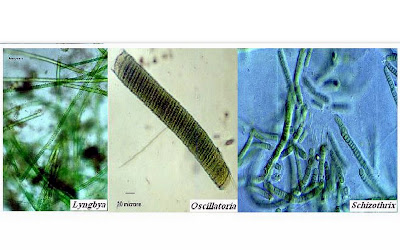 quimiosapiens cianobacterias y cianotoxinas en c243rdoba