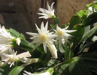pianta grassa con fiori bianchi grandi