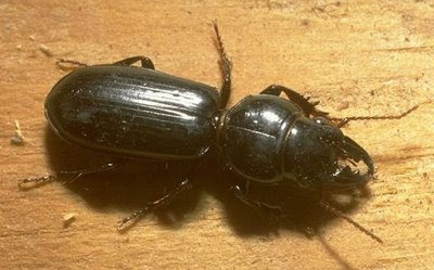 Ground beetle, Scarites subterraneus Fabricius (Coleoptera: Carabidae). Photo by Drees.