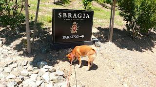 Shiba (Zuko) in Wine Country