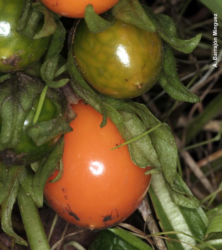 Naturaleza viva mandragora autumnalis bertol fam solanaceae - Mandragora malaga ...