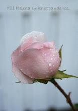 En knoppande ros
