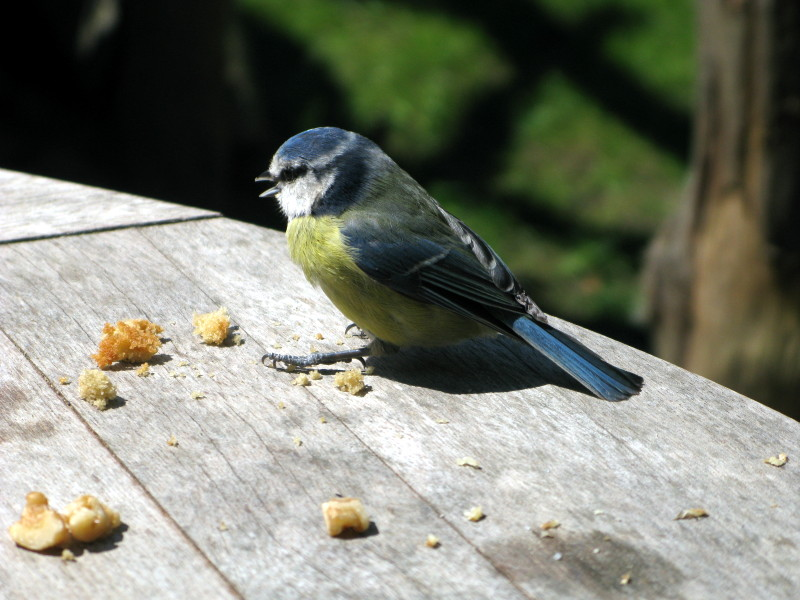Bold Blue Tit. It had been quite cool walking through the woods flanking the ...