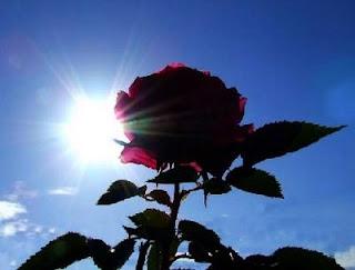 rosasol.JPG (320×243)