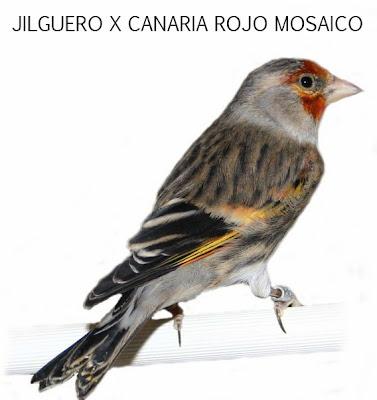 [Imagen: xcanariarojamosaico+copia.jpg]